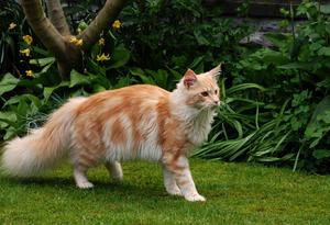 Крупные кошки: мейн-кун и сибирская