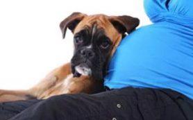 Собака: лучший компаньон для беременной женщины